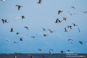gulls over baltic sea sm 8604-9-1