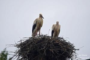 Storks rained on wet sm9533
